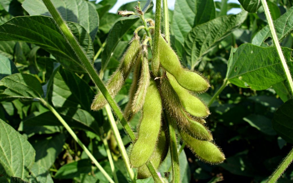Sojabohnen: besser Nahrung für uns als für Tiere