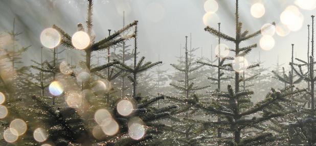 Weihnachtsbäume: ohne Gift – aus der Region