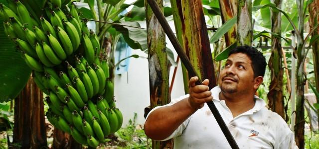 Bananenpflücker in Ecuador