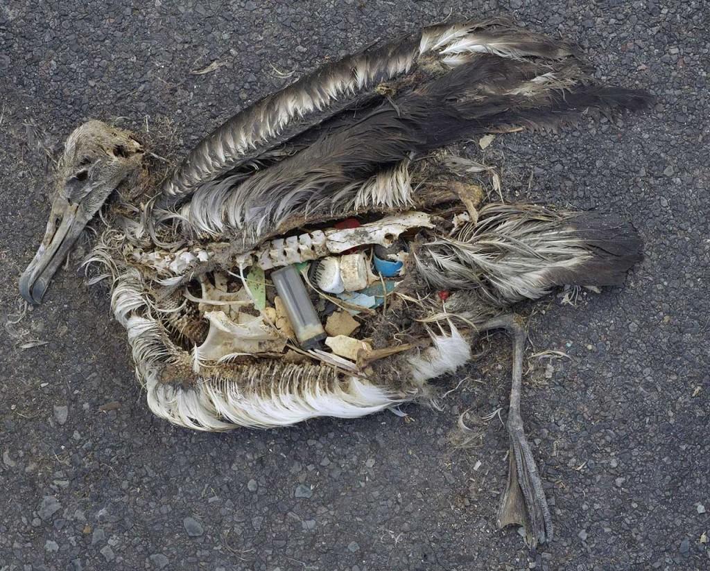 Seevögel wie diser Albatross fressen Plastikteile und verenden daran.