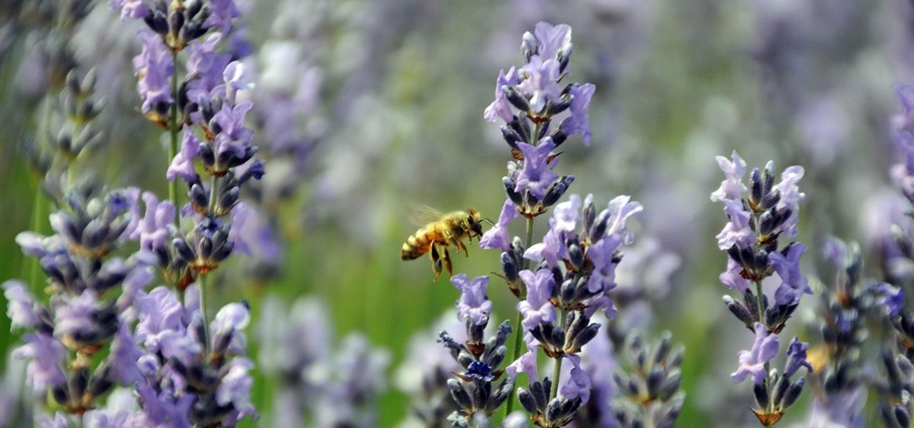 warum bienen sterben gef hrliche insektizide. Black Bedroom Furniture Sets. Home Design Ideas