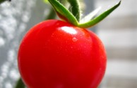 Darf eine Tomate einem Konzern gehören?