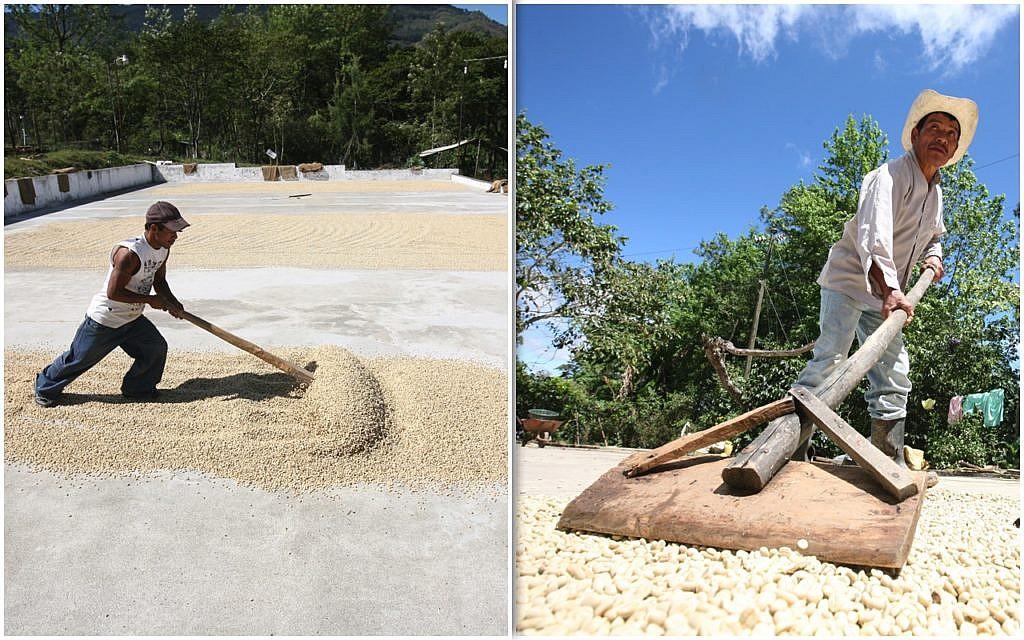 Fair-Trade-Kaffee: hier Kaffeebauern der Kaffeekooperativen Rio Azul, Cuna Chorti bei Kaffeebohnentrocknen