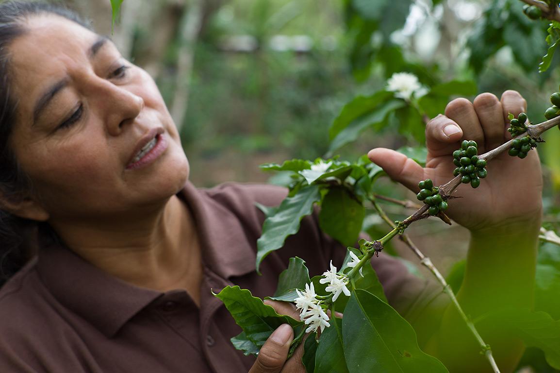 Fairer Kaffee: Plantage COMSA in Hondurus