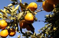 Ausgepresst: Gift und Ausbeutung in der Orangensaft-Produktion