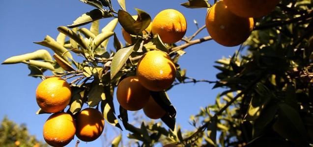 Orangensaft: Gift und Ausbeutung in der Produktion