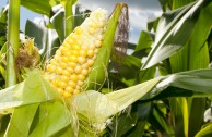 Contra Monsanto: Mehrheit der EU-Staaten verbietet Genmais