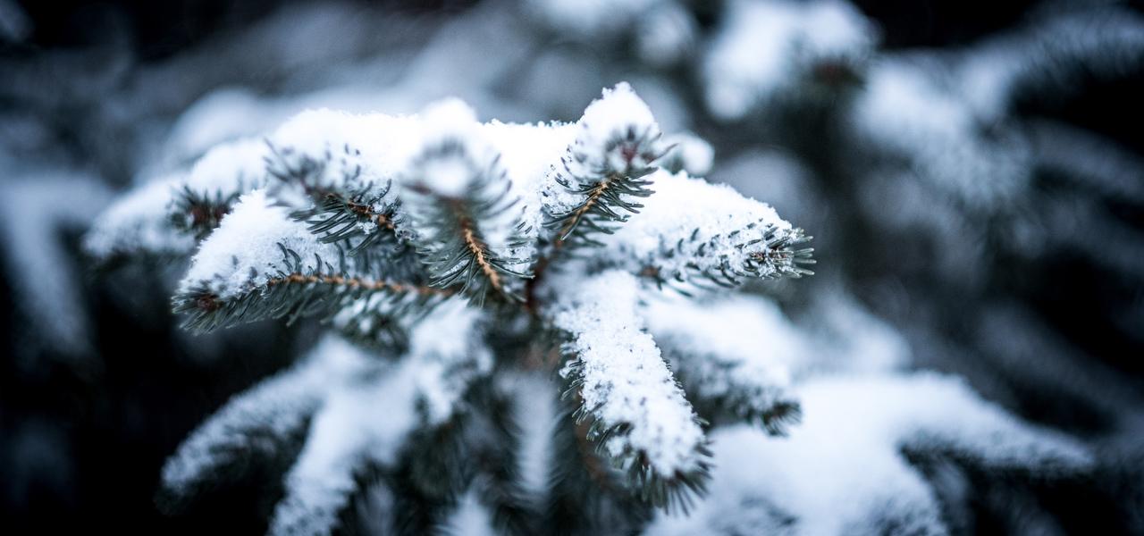 Alternativen zum Weihnachtsbaum: öko, regional, gemietet