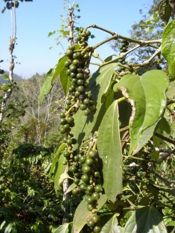 Die Kaffeebohnen für Nespresso-Kapseln werden nicht unter besonders fairen oder biologischen Bedingungen angebaut.
