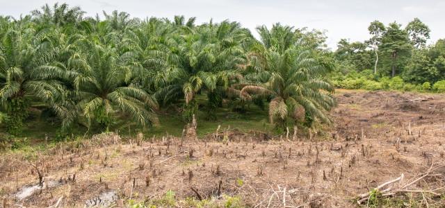 Regenwald-Abholzung für Palmöl