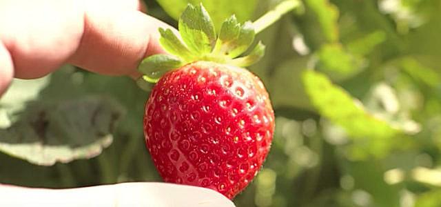 Vom Feld in den Müll: Erdbeere