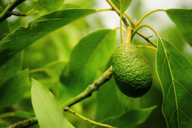 avocado gesundes superfood mit avocadokern trick. Black Bedroom Furniture Sets. Home Design Ideas