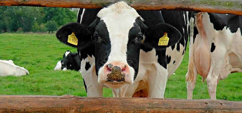 Ob CO2-Emissionen oder Wasserverbrauch: Milch von der Kuh schneidet ökologisch schlechter ab