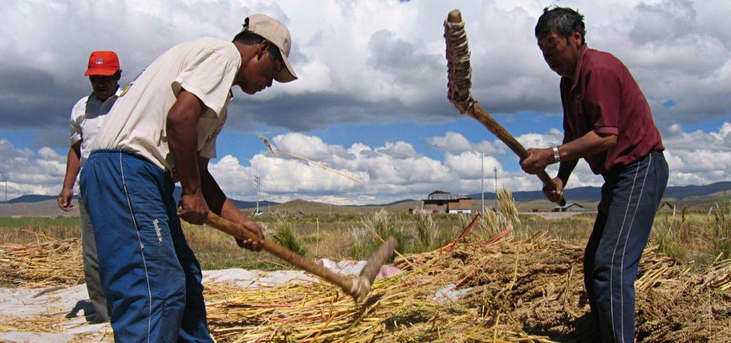 Quinoa wird gedroschen, bei Puno (Peru)
