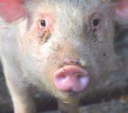 Sinkender Fleischkonsum: Deutsche essen weniger Fleisch, Schwein schaut in Kamera
