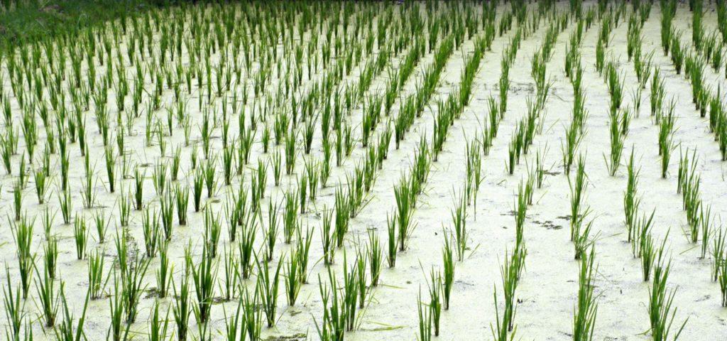 Reisfelder Reis Reiswaffeln Arsen Öko-Test