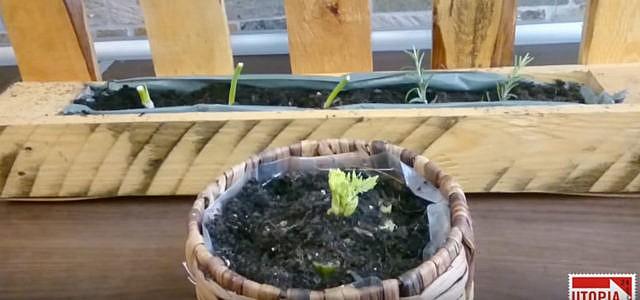 Gemüse anbauen: Diese 4 Lebensmittel wachsen immer wieder nach