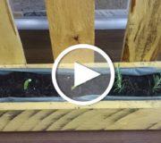 Dieses Gemüse anbauen: es wächst nach