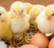 Eier ohne Küken-Schreddern: Initiativen