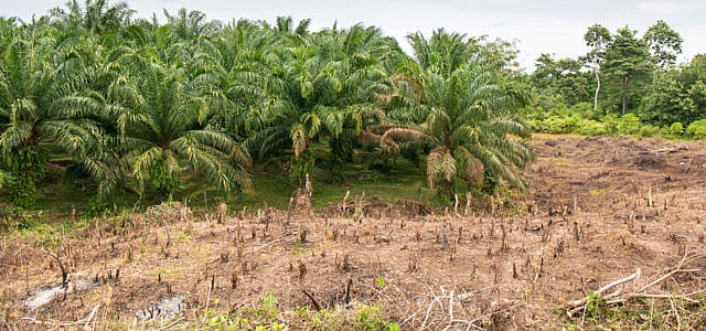 Palmöl: Regenwald-Zerstörung