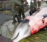 Plastikmüll: Wal mit Plastiktüten im Magen