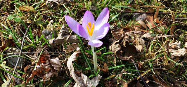 Frühlingsanfang –Frühlingsbeginn – Frühling – Blume – Krokos