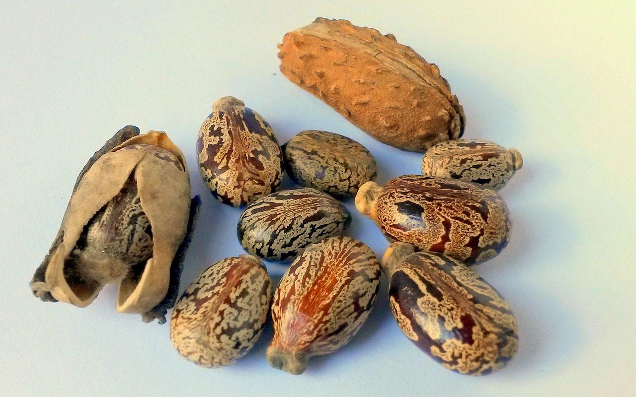 Aus den Samen des Wunderbaums wird Rizinusöl hergestellt.