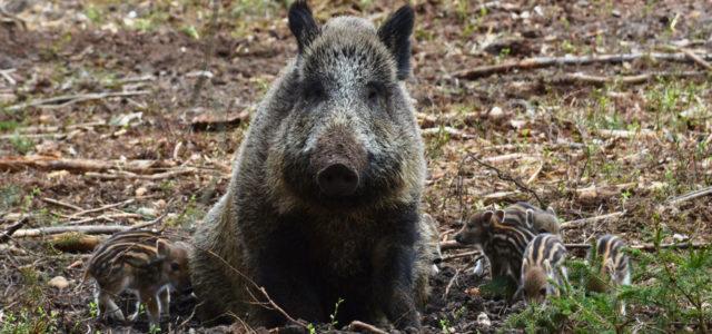 Wildschwein-Jagd: ist jetzt jedes MIttel recht?