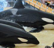 Orca Schwertwal Killerwal Tiershow Wasserpark