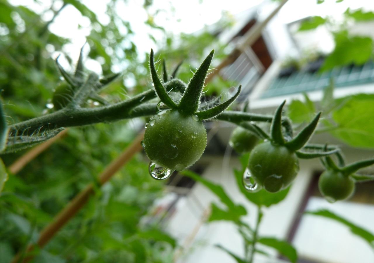 Ganz und zu Extrem Tomaten pflanzen auf dem eigenen Balkon: So klappt es garantiert &GU_16