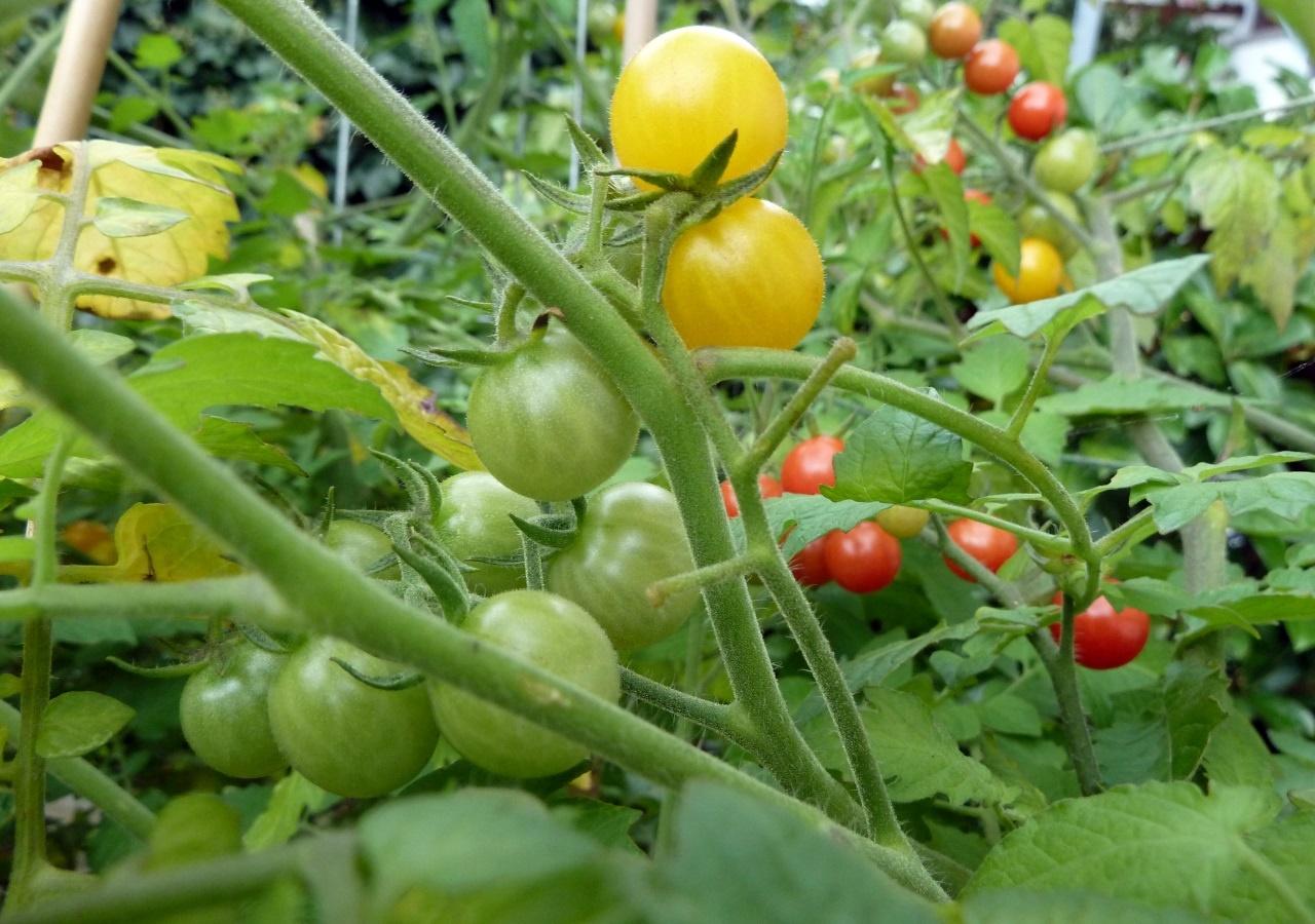Etwas Neues genug Tomaten pflanzen auf dem eigenen Balkon: So klappt es garantiert &JV_59