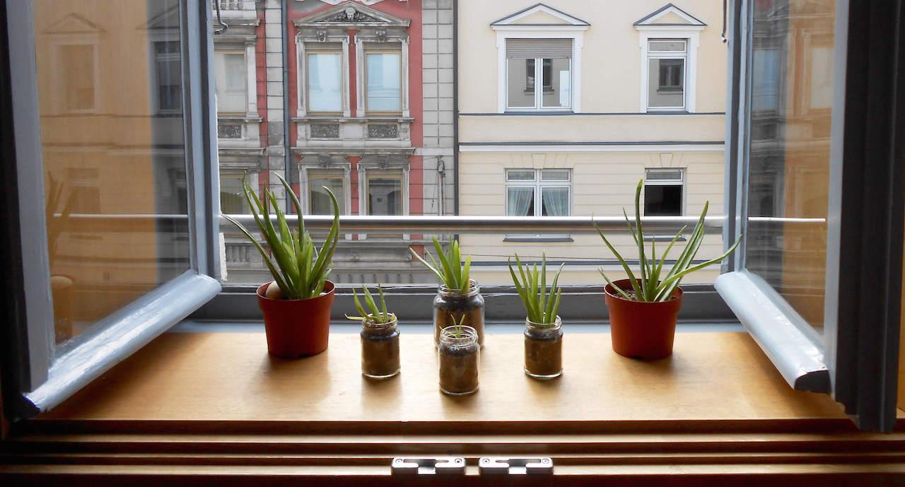 Aloe-Vera-Ableger lassen sich zuhause züchten