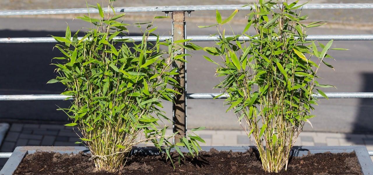 bambus anpflanzen darauf solltest du achten. Black Bedroom Furniture Sets. Home Design Ideas