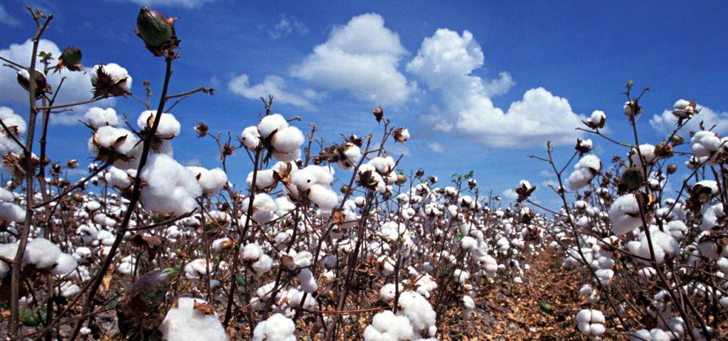Baumwollfelder in den USA