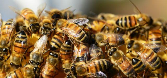 Bienen sterben Neonicotinoide