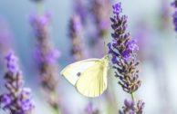 Lavendel anpflanzen, zurückschneiden und pflegen – darauf musst du achten