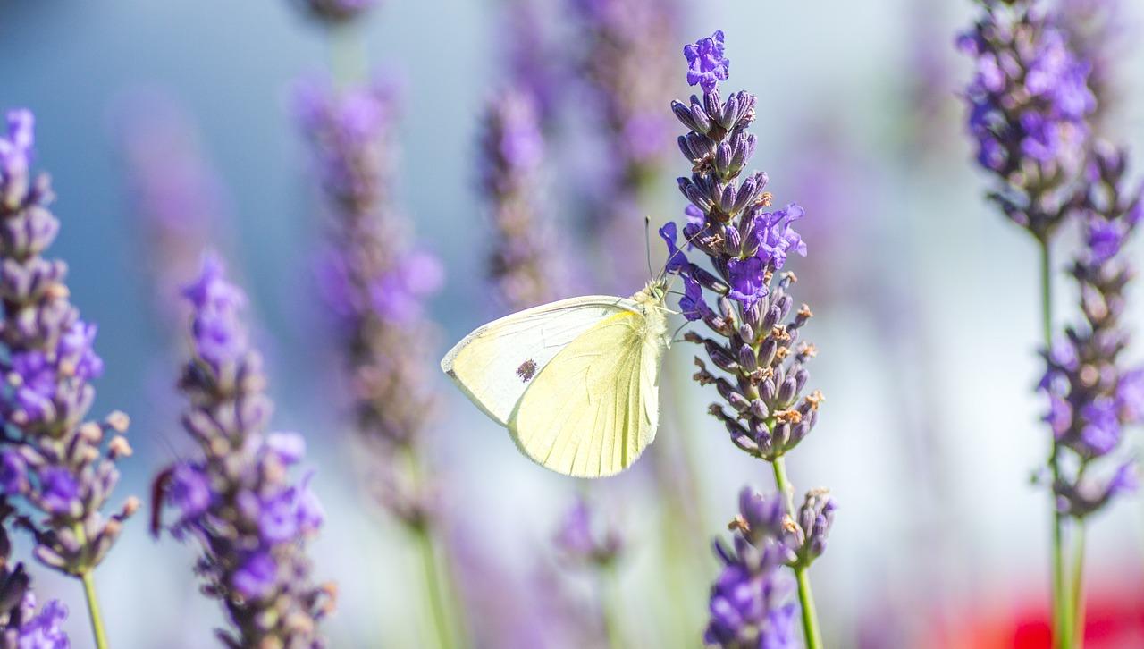 Lavendel zieht Nützlinge mit seinem betörenden Duft an und vertreibt damit Schädlinge.