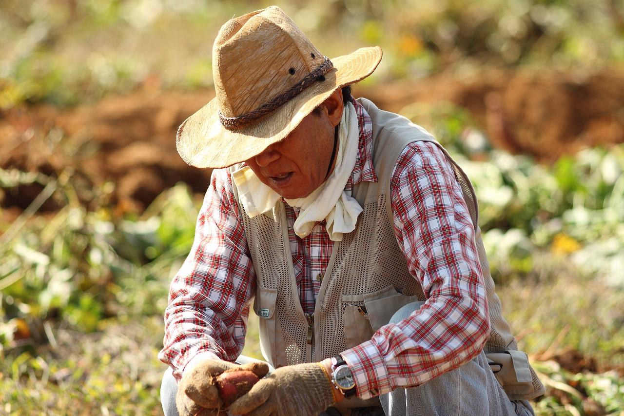 Süßkartoffel-Bauer