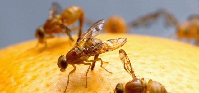 Taufliege Fruchtfliege Obstfliege Drosophila Falle bauen