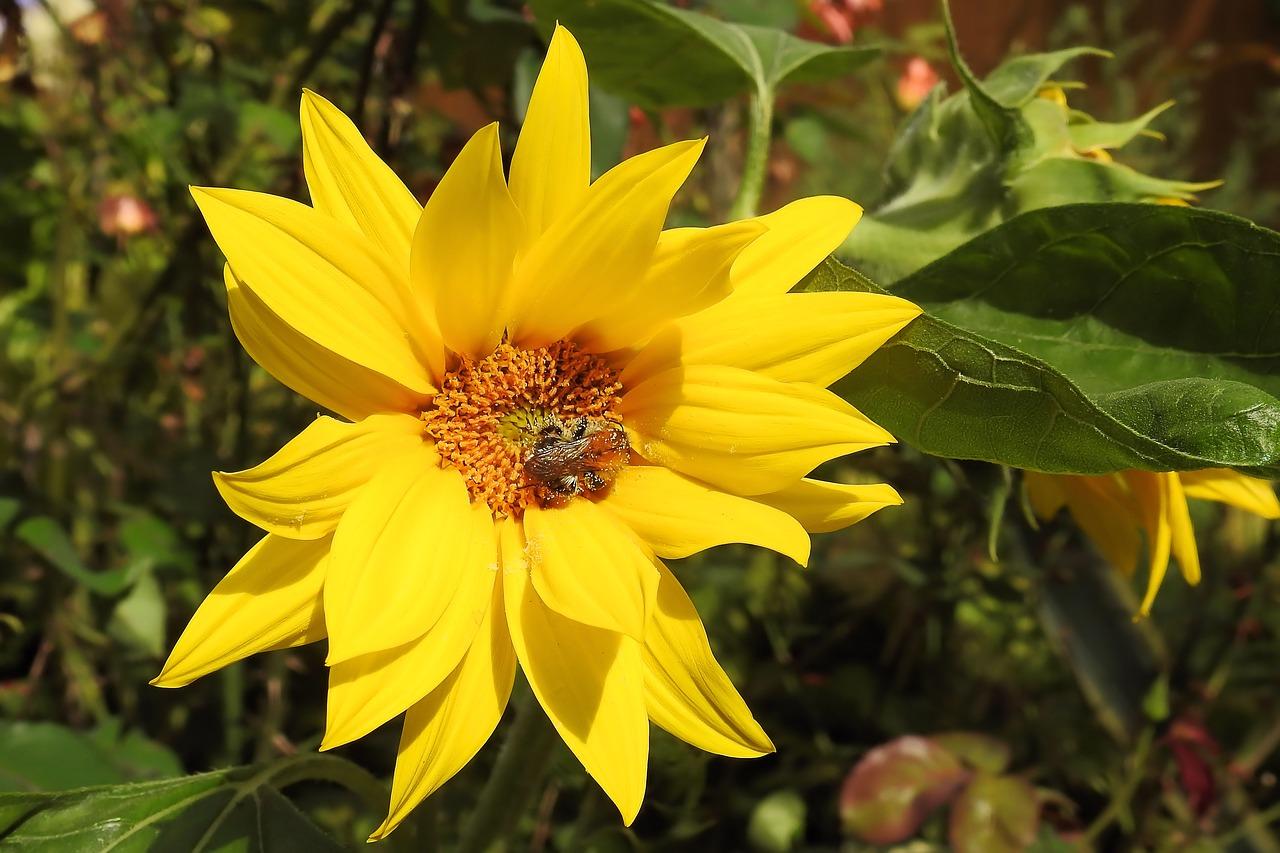 Topinambur ist eng mit der Sonnenblume verwandt.