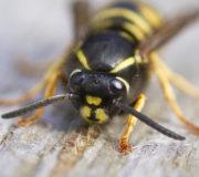 Wespe Wespenstich behandeln Hausmittel