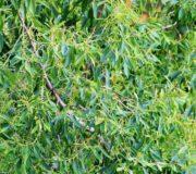 Der Teebaum zählt zu den Myrthengewächsen