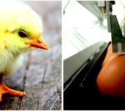 Kükenschreddern SELEGGT Geschlechtsbestimmung im Brut-Ei