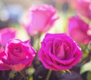 Rosen Garten blühen