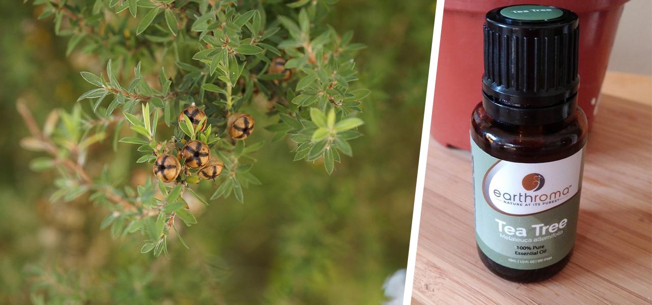 teebaum l anwendung gegen pickel und andere beschwerden. Black Bedroom Furniture Sets. Home Design Ideas