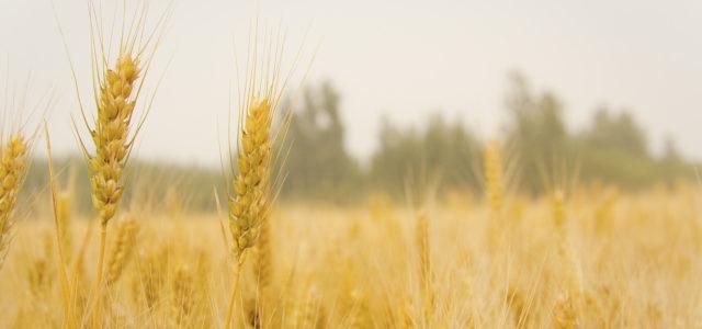 Weizen Weizenfeld Kornähre