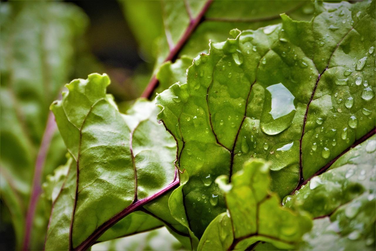 Die Blätter der Roten Bete sind Vitaminbomben