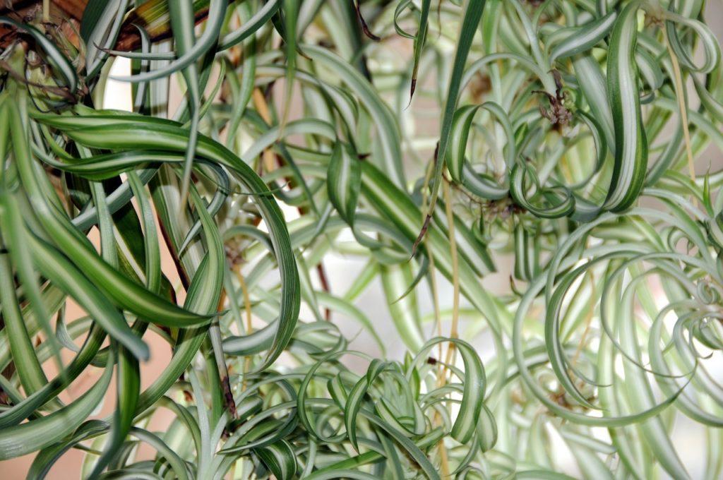 Die Grünlilie ist eine beliebte Hängepflanze