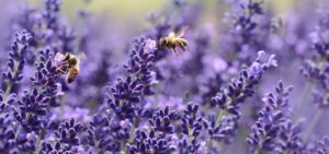 Lavendel ist ein wahrer Bienenmagnet.