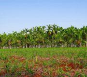 Palmöl-Plantagen verdrängen den Regenwald